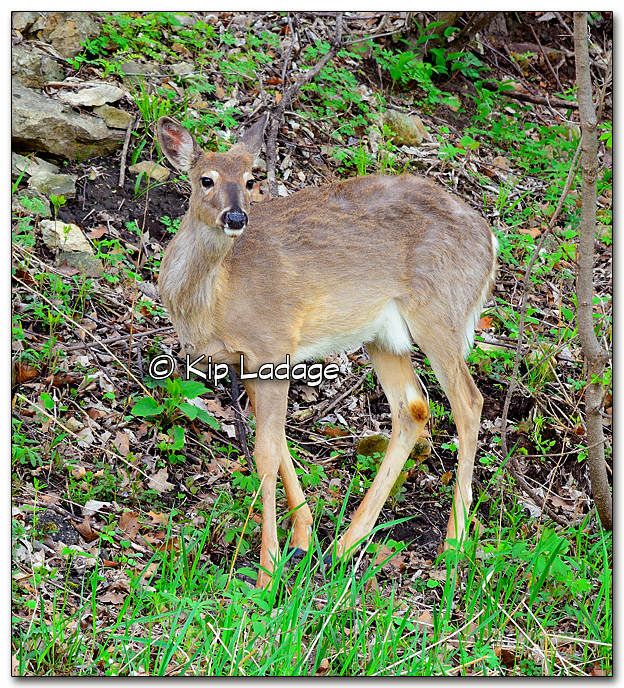 Whitetail Deer Along Road - Image 316120