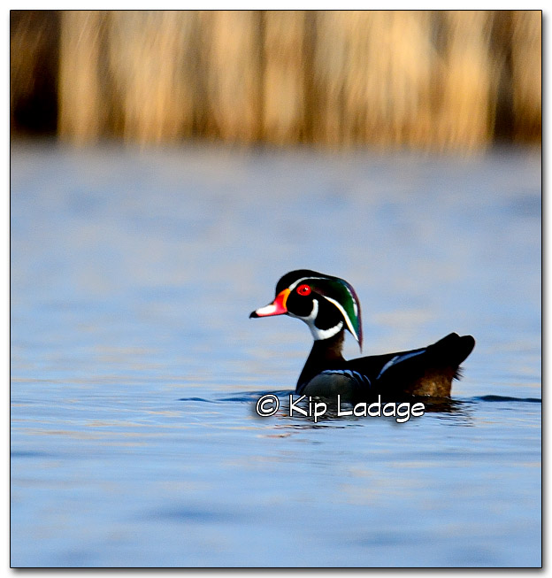 Wood Duck at Sweet Marsh - Image 310083