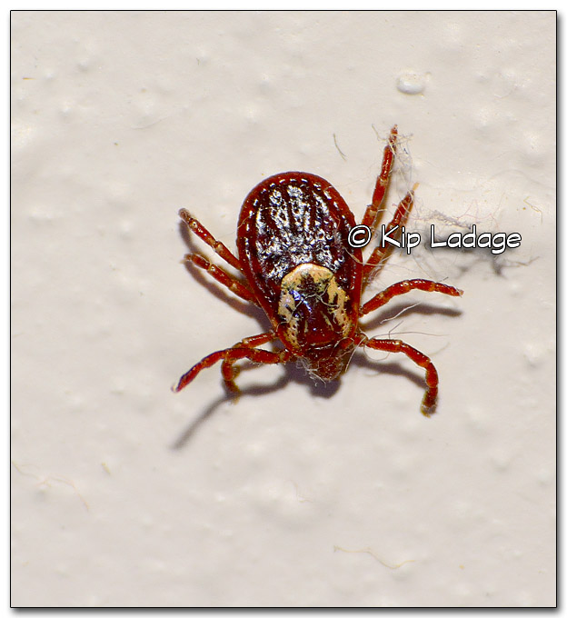 Wood Tick on Wall - Image 313557