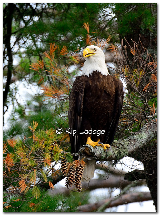 Bald Eagle at Lake Vermilion - Image 323276