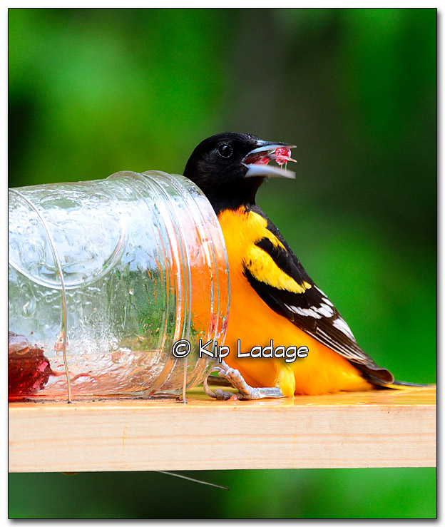 Baltimore Oriole With Grape Jelly at Feeder - Image 320128
