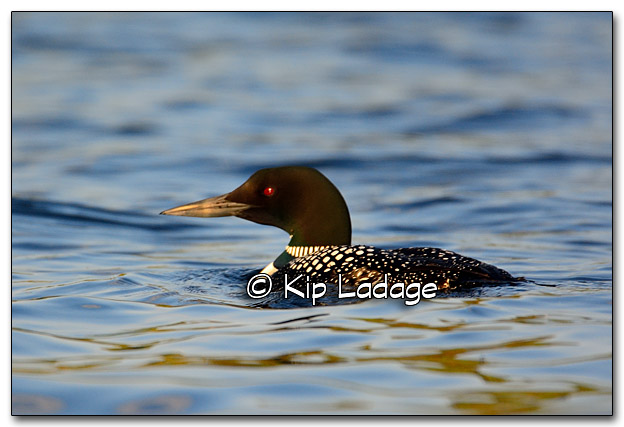 Common Loon at Lake Vermilion - Image 322325