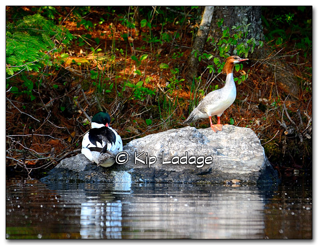 Common Mergansers at Lake Vermilion - Image 323325