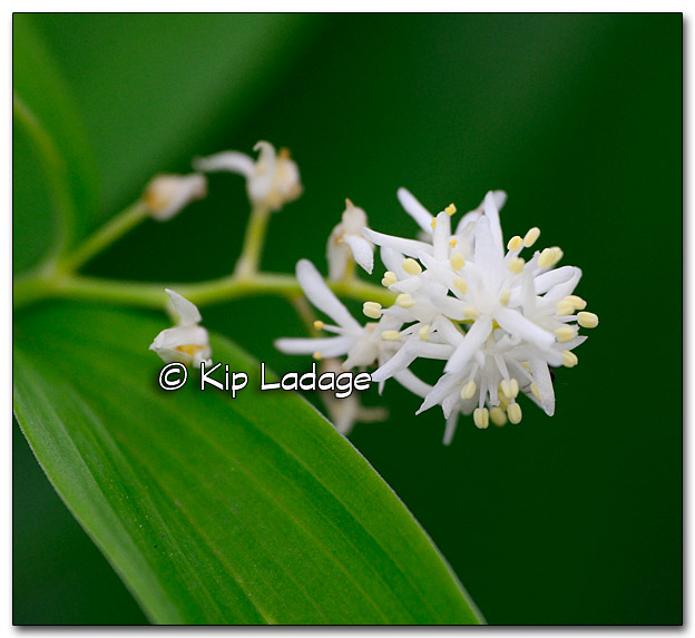 False Solomon's Seal - Image 318663