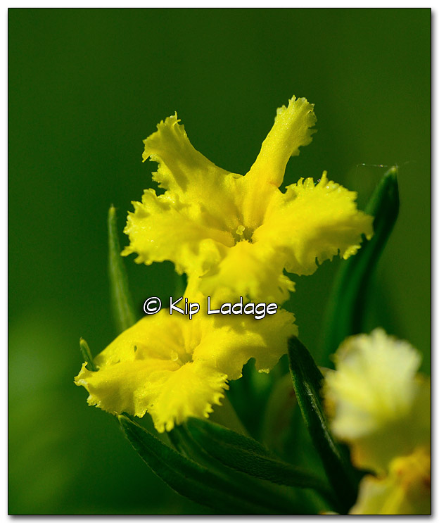 Fringed Puccoon at Cedar Bend Savanna - Image 321583