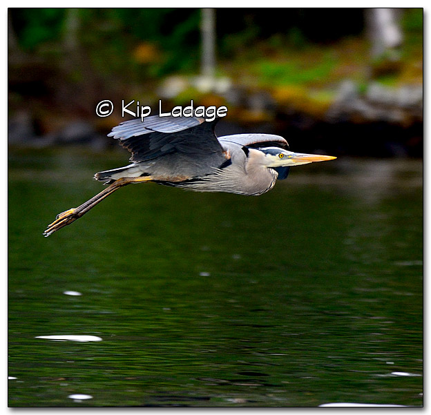 Great Blue Heron at Lake Vemilion - Image 322591