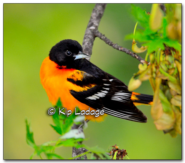 Male Baltimore Oriole in Maple Tree - Image 320841