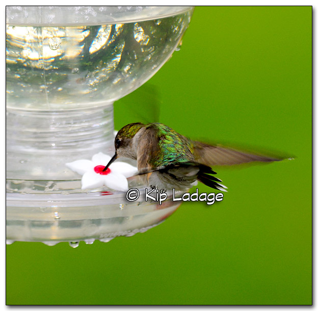 Ruby-throated Hummingbird at Feeder - Image 320919