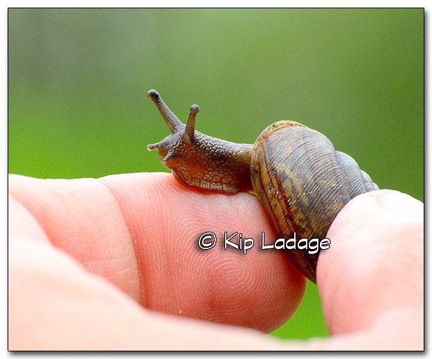 Snail on Finger - Image 319228