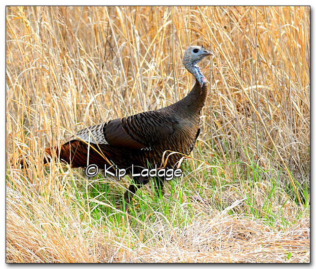 Hen Wild Turkey - Image 318639