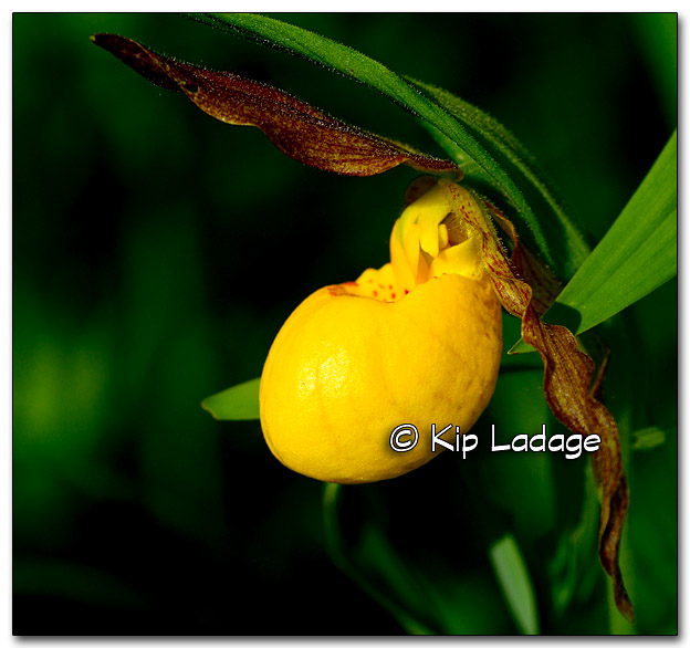 Yellow Lady's Slipper - Image 324576