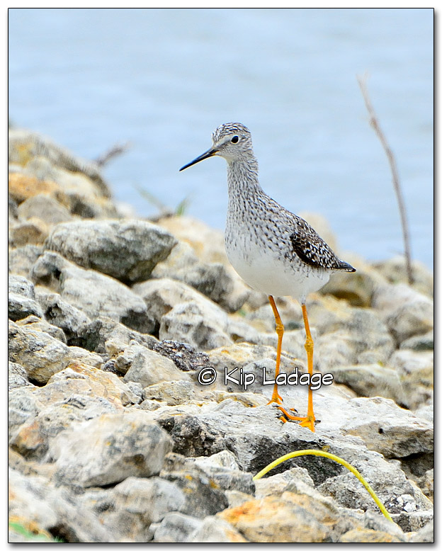 Yellowlegs On Rocks - Image 319546