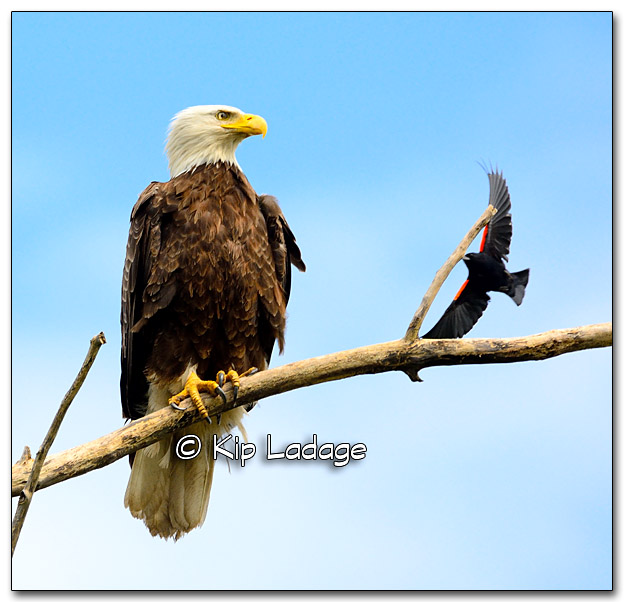 Adult Bald Eagle and Red-winged Blackbird - Image 326704