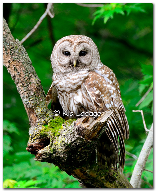 Barred Owl at Black Hawk Park - Image 326351