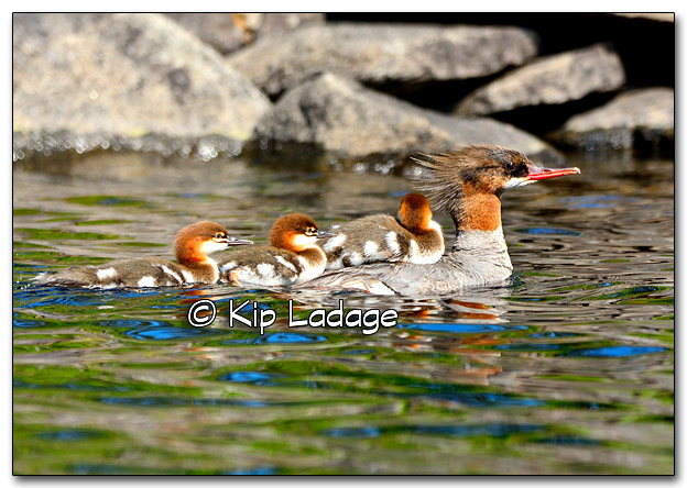 Common Mergansers at BWCA 2015 - PLC (328116)
