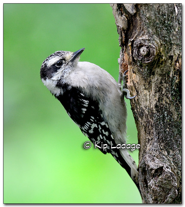 Downy Woodpecker on Branch - Image 326598