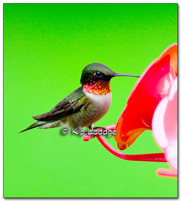 Male Ruby-throated Hummingbird - Image 326429