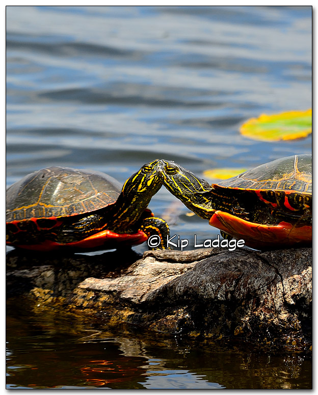 Kissing Painted Turtles? - Image 324988c