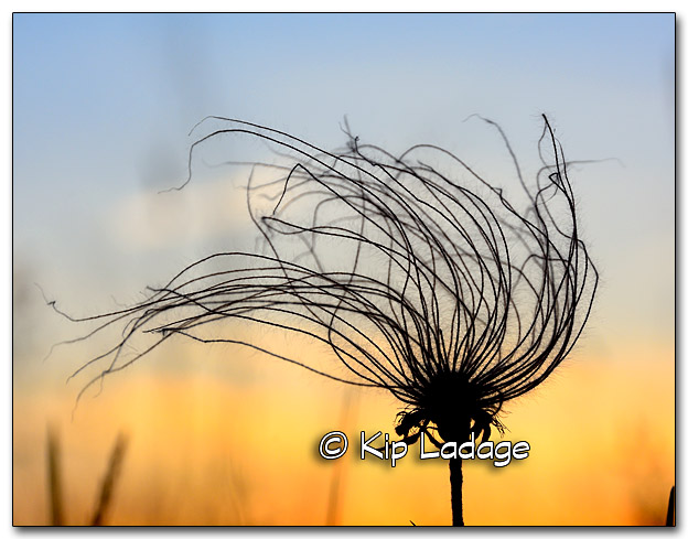 Prairie Smoke (Grandfather's Whiskers) and Setting Sun - Image 324638