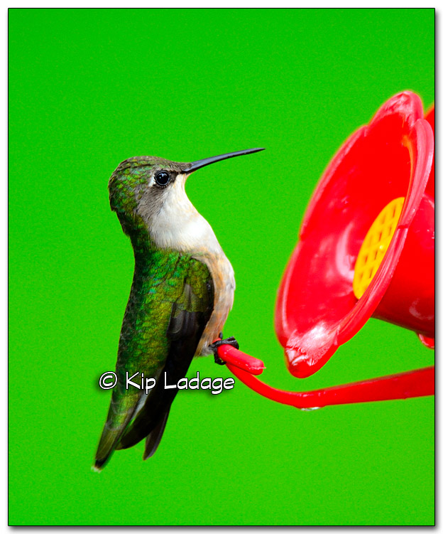 Ruby-throated Hummingbird at Feeder - Image 325751