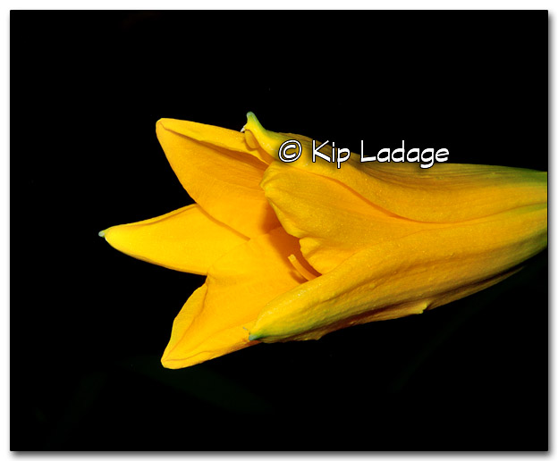 Yellow Lily - Image 328359