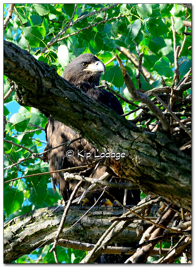 Young Bald Eagle Near Nest - Image 326556