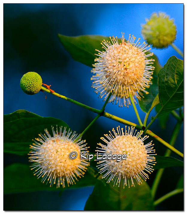 Buttonbush Along Wapsipinicon River - Image 331221