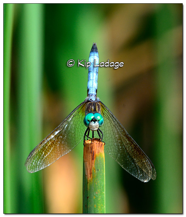 Common Blue Dasher Dragonfly - Image 330736