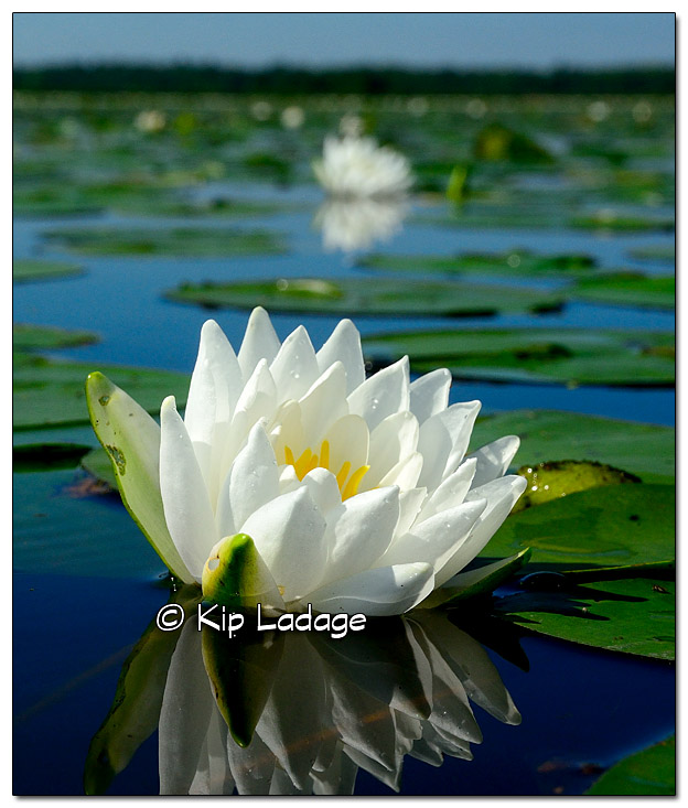 Fragrant Water Lily - Image 330266