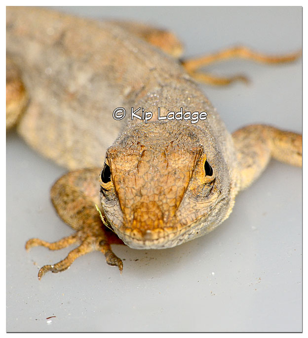 Cuban Brown Anole - Image 329104