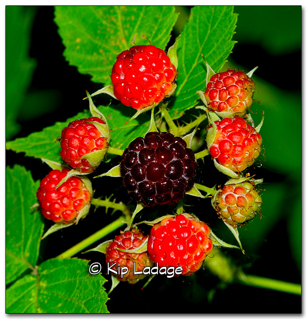Raspberries - Image 328425