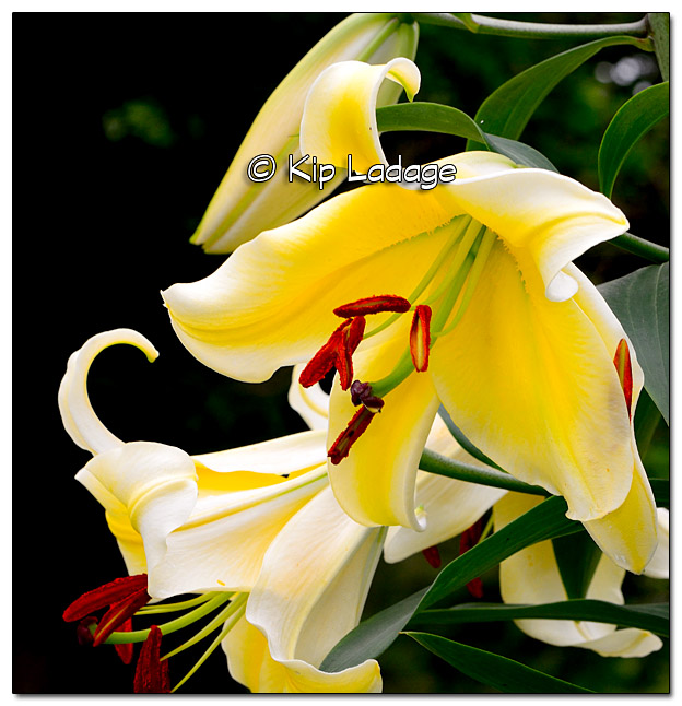 Ruby's Lily - Image 330011
