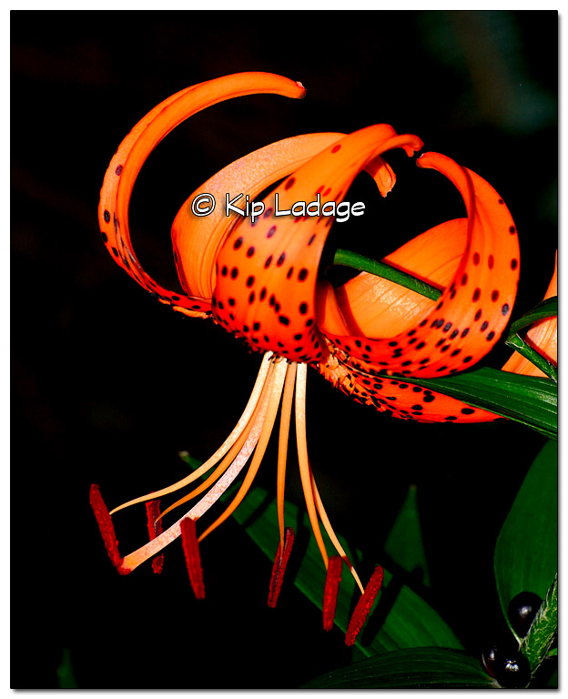 Turk's Cap Lily - Image 331131