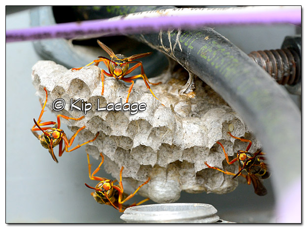 Wasps at Nest - Image 329963