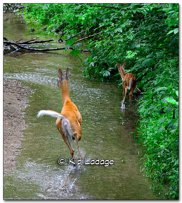 Whitetail Deer in Stream - Image 328832