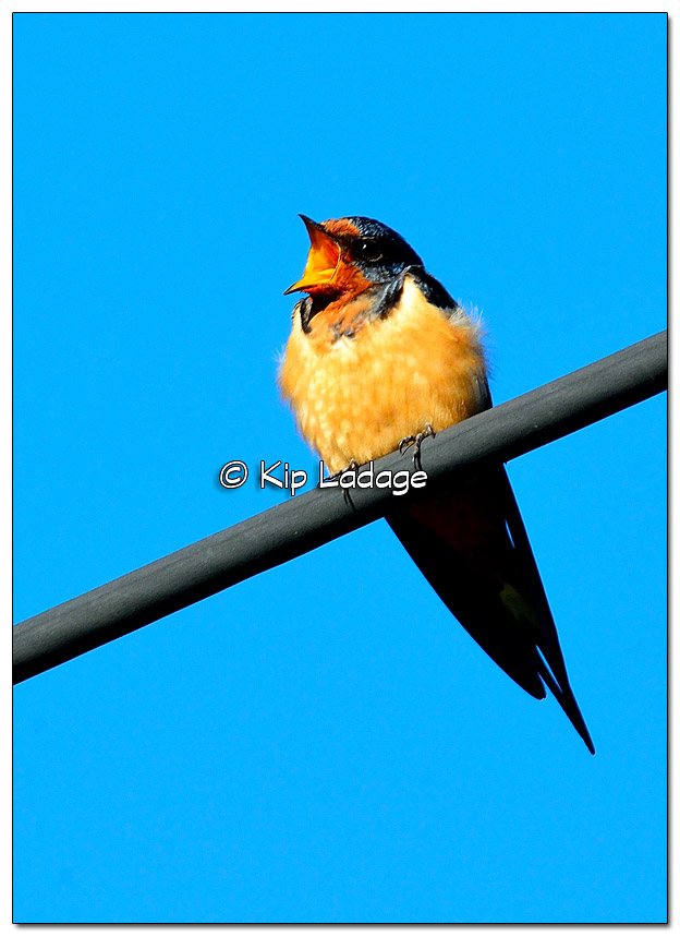 Barn Swallow Yawning - Image 333569