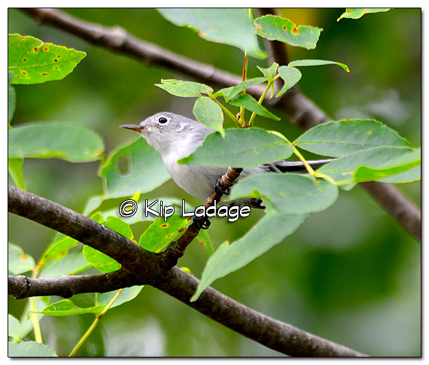 Blue-gray Gnatcatcher Along the Wapsipinicon River - Image 334932