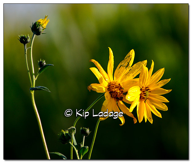 Compass Plant in Ditch - Image 336007