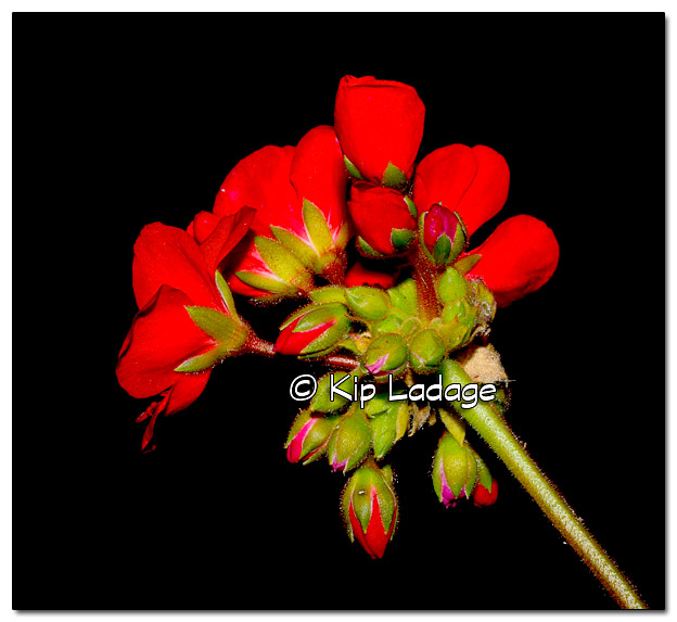 Geranium at Night - Image 335984