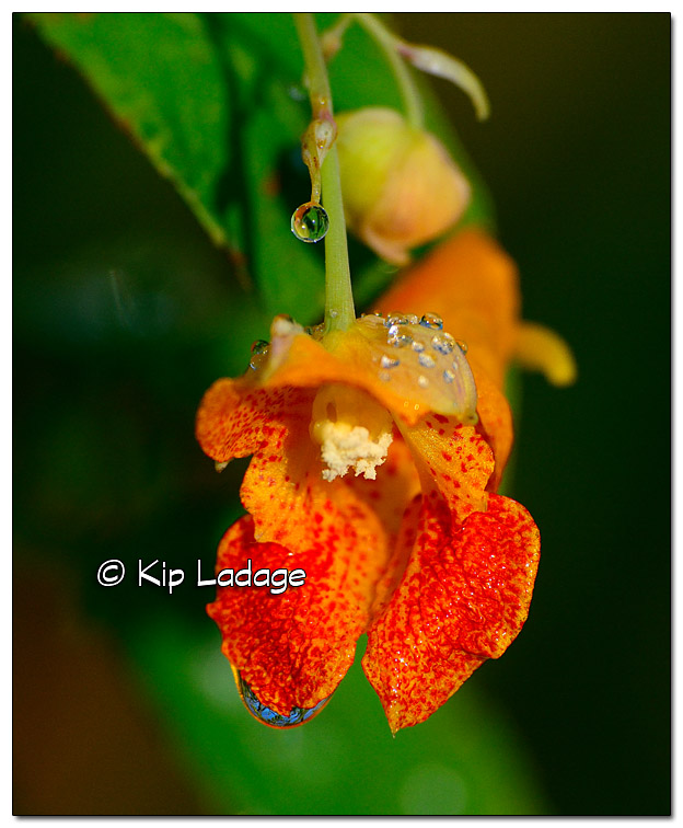 Jewelweed (Touch-me-not) - Image 334860