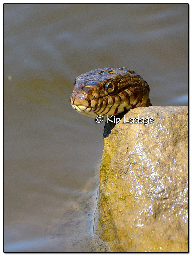 Northern Water Snake - Image 335581
