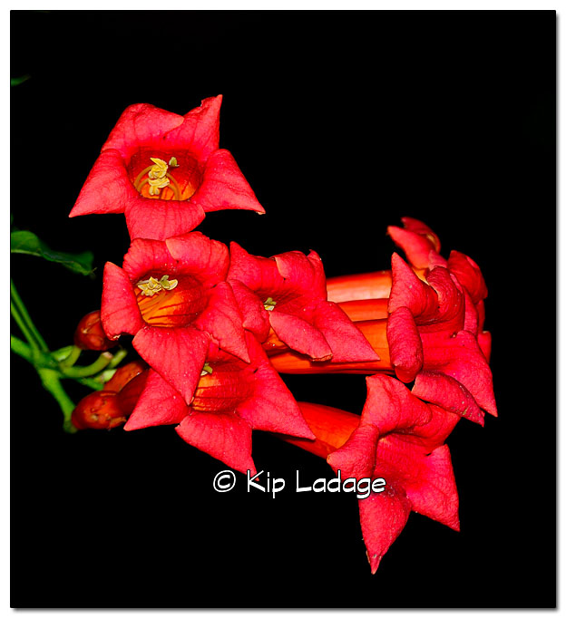 Trumpet Vine Against Black Background - Image 333682
