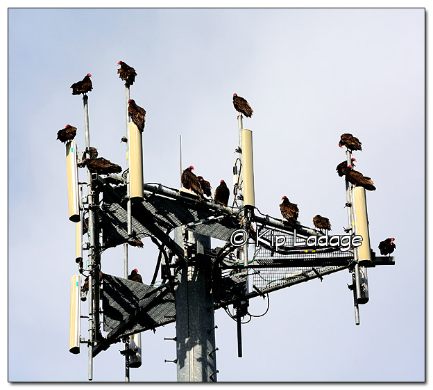 Turkey Vultures on Cell Phone Tower - Image 333139