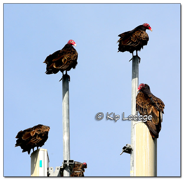 Turkey Vultures on Cell Phone Tower - Image 333152