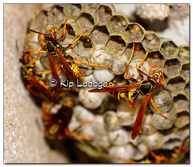 Wasps at Nest at Night - Image 333566