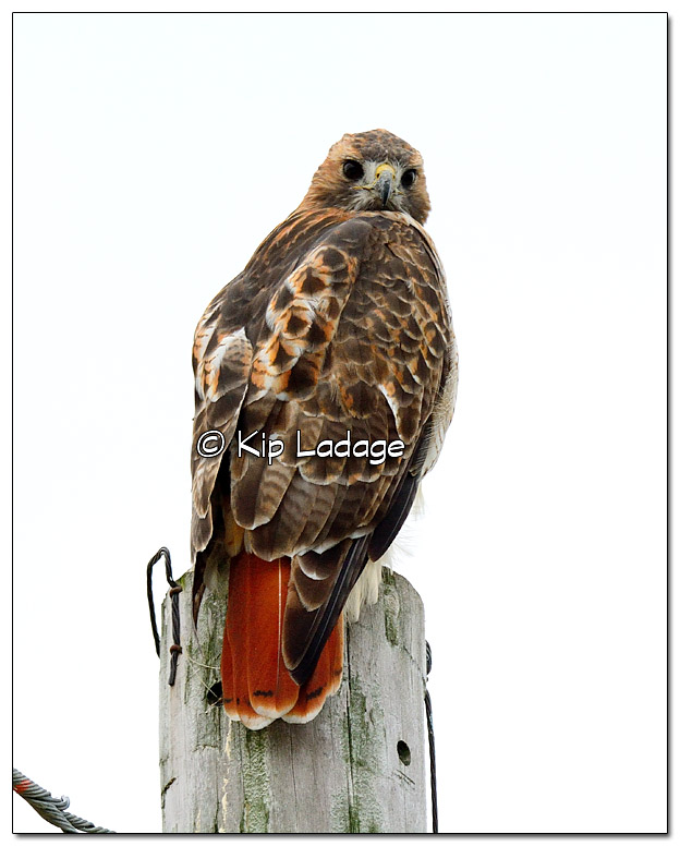 Adult Red-tailed Hawk on Power Pole - Image 339050