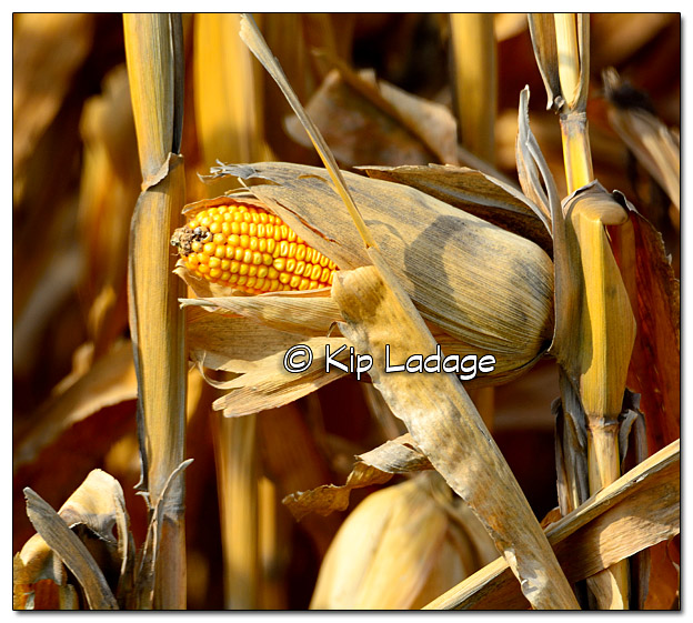 Autumn Corn - Ready for Harvest - Image 339133
