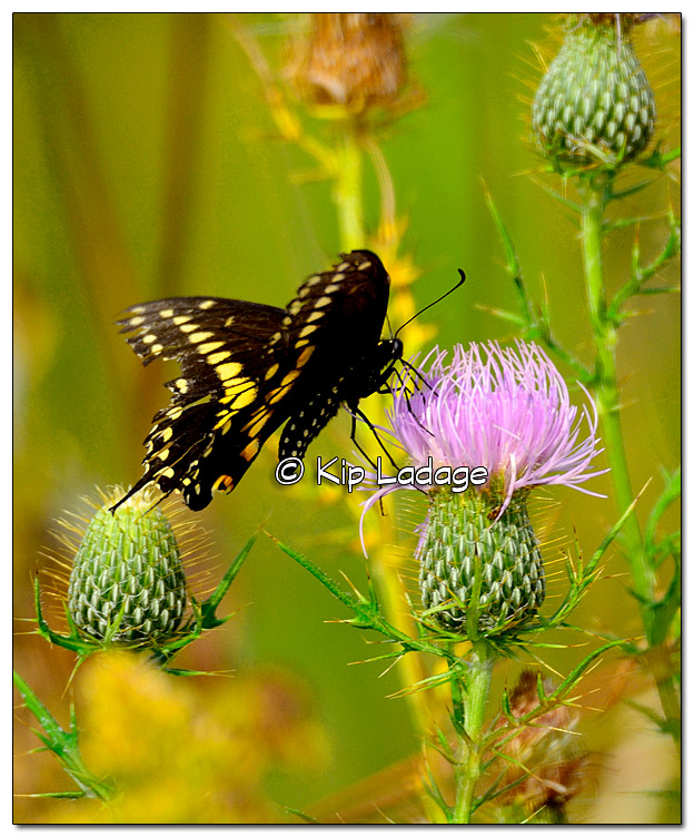 Black Swallowtail Butterfly on Thistle - Image 339164