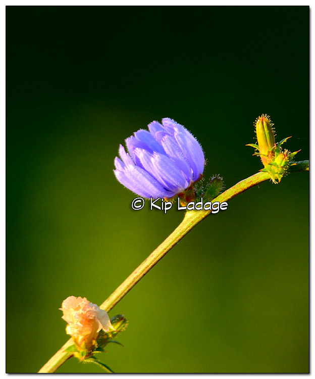 Chickory at Sunrise - Image 336686