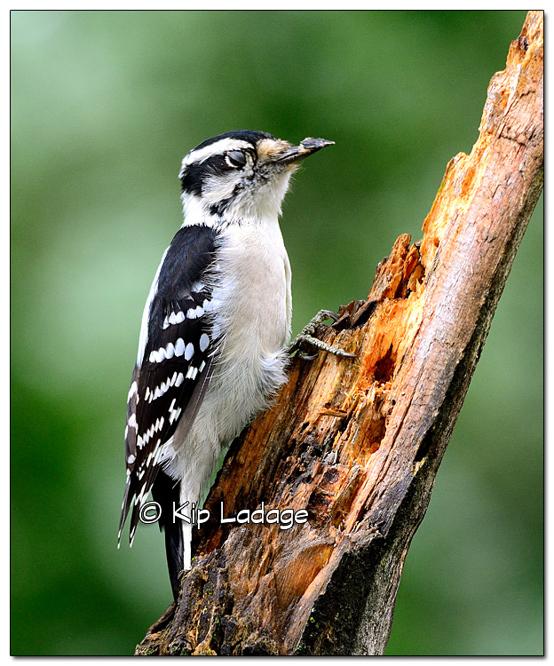 Female Downy Woodpecker on Dead Limb - Image 338468